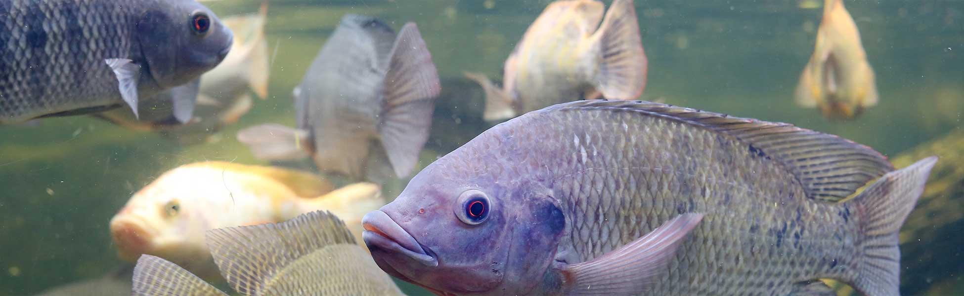Aquaponics Symbiotic Fish Tank